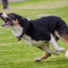 Perros Atrapapatatas